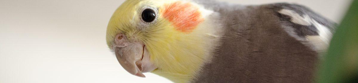 Попугайко